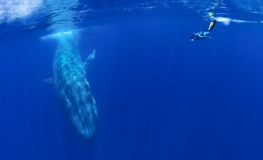 310_1diver_and_bluewhale.jpg